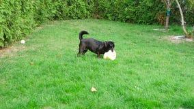 Hund und Ball stock footage