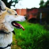 Hund und Brücke Stockfotografie