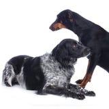 Hund und dobermann Munsterlander Stockfotos