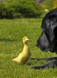 Hund und eine Ente lizenzfreie stockfotografie