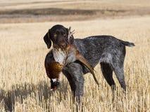 Hund und Fasan lizenzfreies stockfoto