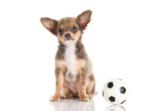 Hund und Fußball lokalisiert auf weißem Hintergrund Lizenzfreies Stockfoto