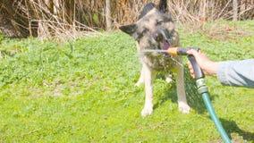 Hund und Gartenschlauch stock video footage