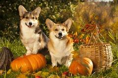 Hund und Kürbis Stockbild