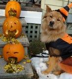 Hund und Kürbise Stockbilder