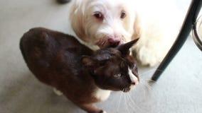Hund und Katze in der Liebe! Weißer Hund leckt schwarze Katze: Cat Escapes Onto Chair stock footage
