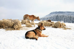 Hund und Schafe lizenzfreie stockfotografie