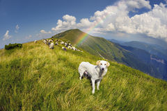Hund und Schafe auf einer Sommerweide Lizenzfreies Stockfoto