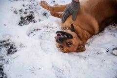 Hund und sein Eigentümer - roter Hund und Mann, die in einem Yard spielt Lizenzfreie Stockfotografie