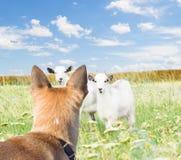 Hund und Ziegen stockfotos