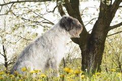 Hund under den körsbärsröda blomningen Arkivbild