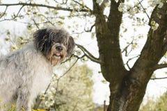 Hund under den körsbärsröda blomningen Arkivbilder