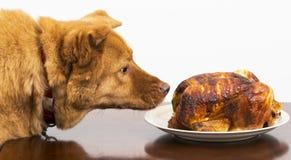 Hund ungefähr, zum des Rotisseriehuhns zu essen Stockfotos
