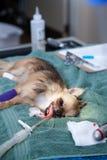 Hund unter Anästhesie Stockfoto