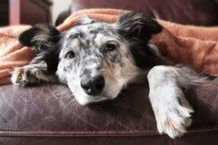 Hund unter Decke Stockfotografie