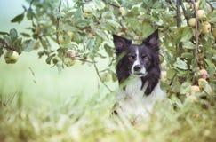 Hund unter dem Apfelbaum Schwarzweiss-Grenze Collie Waiting im Apfelgarten lizenzfreie stockfotos