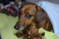 Hund unter den Abdeckungen Stockfoto