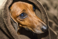 Hund unter den Abdeckungen Lizenzfreie Stockbilder