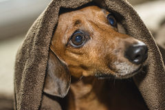 Hund unter den Abdeckungen Lizenzfreie Stockfotografie