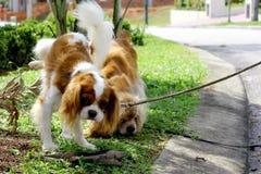 Hund urinieren Stockbild