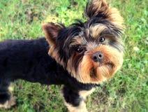 Hund valp, mer terier yorkshire, litet som är gullig, valp, valpgröngöling, royaltyfri bild