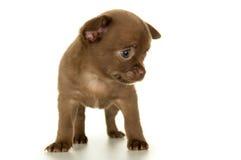 Hund valpbruntfärg arkivbilder