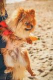 Hund, valpsammanträde på hans händer och se till rätten Royaltyfri Foto