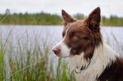 Hund vid sj?n brunt border collie slut upp arkivfoton