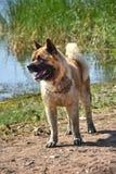 Hund von Akita Inu Stockfotos