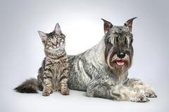 Hund von Brut mittel Schnauzer mit einem kleinen Kätzchen lizenzfreies stockbild