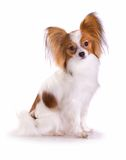 Hund von Brut papillon stockfotografie