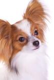 Hund von Brut papillon stockbild