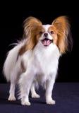Hund von Brut papillon lizenzfreies stockbild