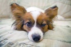 Hund von Brut papillon lizenzfreie stockfotos