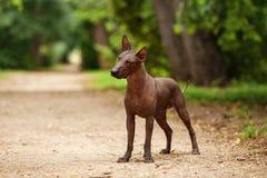 Hund von Xoloitzcuintli-Zucht, mexikanischer unbehaarter Hund, der draußen am Sommertag steht Stockfoto