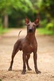 Hund von Xoloitzcuintli-Zucht, mexikanischer unbehaarter Hund, der draußen am Sommertag steht Lizenzfreie Stockbilder