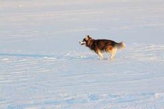 Hund von Zucht der sibirische Husky, der auf einem Schneestrand läuft Stockfotos