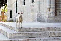 Hund vor Suleymaniye-Moschee - Istanbul Stockfotografie