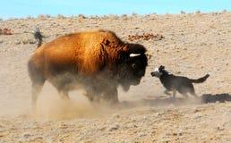 Hund wagt einen Büffel-Bison Lizenzfreies Stockfoto