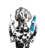 Hund wird die Zähne säubern, nachdem er geduscht hat Lizenzfreies Stockfoto