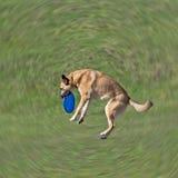 Hund wird Diskette auf dem Gras spielen Stockbild
