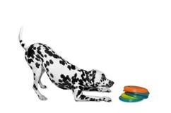Hund wird Diskette spielen Stockfotos