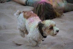 Hund wird mit mehrfarbiger Farbe auf dem Festival von Holi befleckt stockbilder