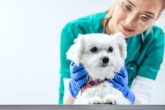 Hund wird vom Tierarzt überprüft stockfotos