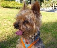 Hund Yorkie aus den Grund Stockbilder
