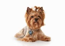 Hund Yorkie-Welpe auf weißem Steigungshintergrund Stockfotografie