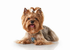 Hund Yorkie-Welpe auf weißem Steigungshintergrund Lizenzfreie Stockfotos