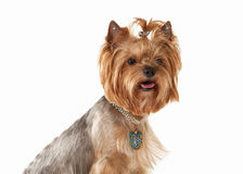 Hund Yorkie-Welpe auf weißem Steigungshintergrund Lizenzfreies Stockfoto
