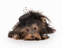 Hund Yorkie-Welpe auf weißem Steigungshintergrund Lizenzfreie Stockfotografie