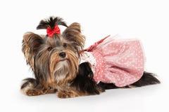 Hund Yorkie-Welpe auf weißem Steigungshintergrund Lizenzfreies Stockbild